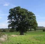 'Wychwood Oak
